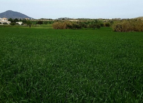 Agricultural Land For Sale in Anglisides, Larnaca - L-64437